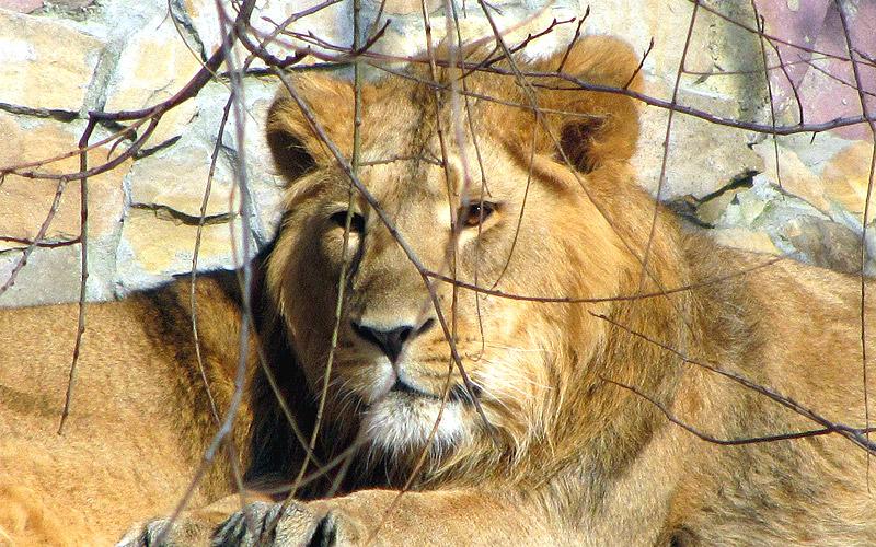 Лев в зоопарке Москвы