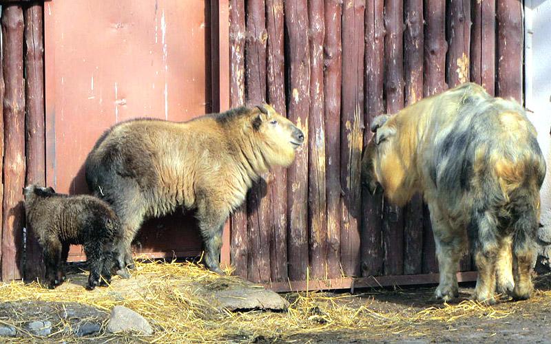 Такины в московском зоопарке