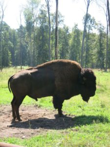 Тонна говядины. Североамериканский Бизон