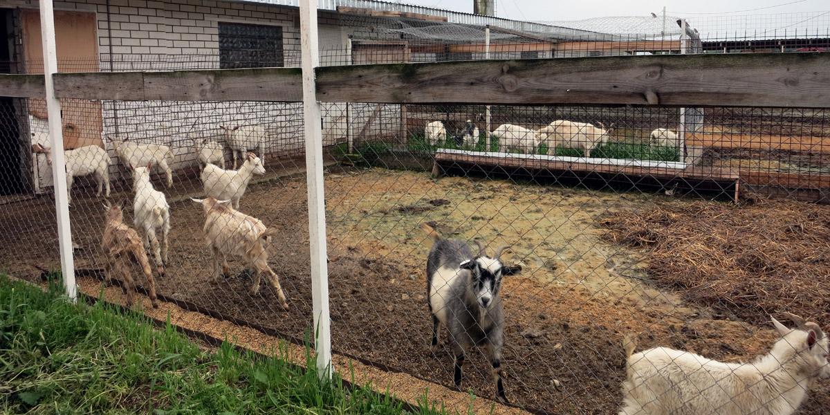 Козы и козочки на ферме