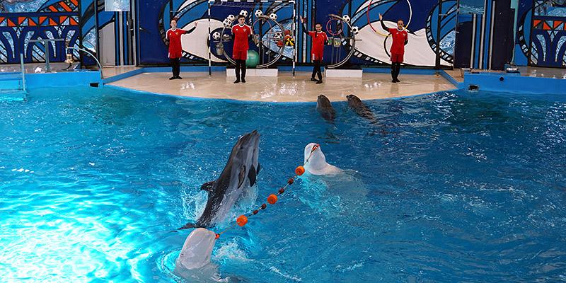 Гоша и Глаша северные киты белухи в дельфинарии Сочи