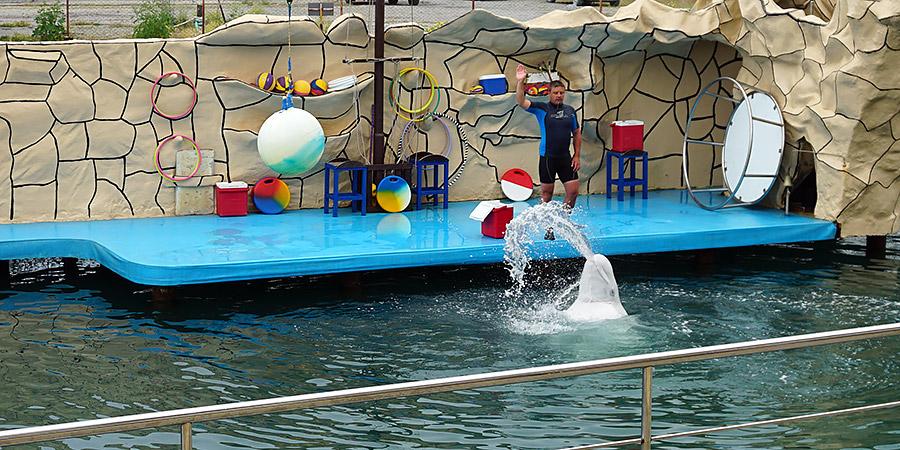 Дальневосточная белуха северный кит