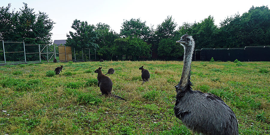 Кенгуру Беннета и страус
