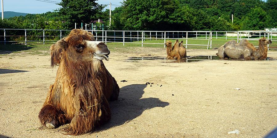 Верблюд в До До парке