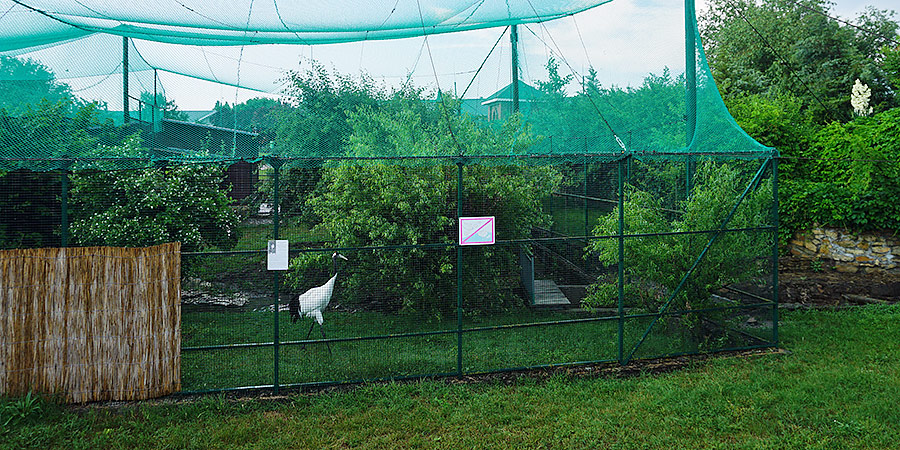 Японский маньчжурский журавль