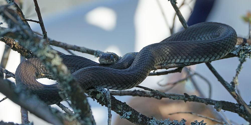 Змеи в Карелии уж обыкновенный