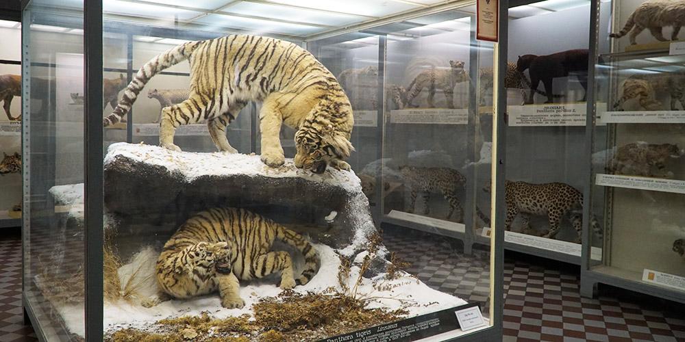 Амурский тигр и семейство кошачьих