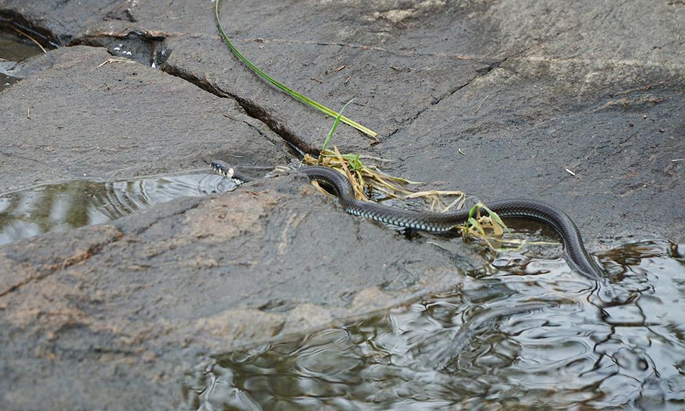 Встреча со змеей в Карелии